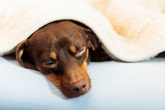 Brain Tissue Underdevelopment in Dogs - Symptoms, Causes, Diagnosis, Treatment, Recovery, Management, Cost