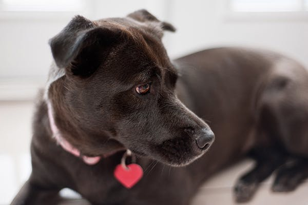 Breast Cancer in Dogs - Symptoms, Causes, Diagnosis, Treatment, Recovery, Management, Cost