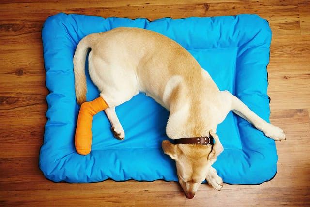 Broken Leg in Dogs - Symptoms, Causes, Diagnosis, Treatment, Recovery, Management, Cost