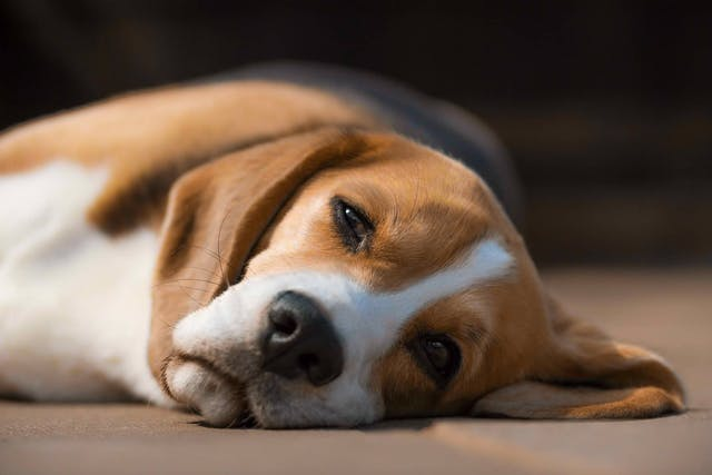 Bromide Toxicity in Dogs - Symptoms, Causes, Diagnosis, Treatment, Recovery, Management, Cost