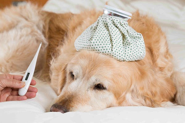 Bronchitis in Dogs - Symptoms, Causes, Diagnosis, Treatment