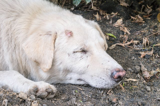 Brown Recluse Spider Bite Poisoning in Dogs - Symptoms, Causes, Diagnosis, Treatment, Recovery, Management, Cost