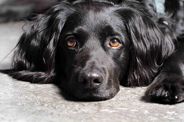 Brucellosis in Dogs - Symptoms, Causes, Diagnosis ... Brucellosis In Dogs