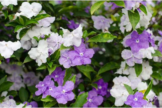 Brunfelsia Poisoning in Dogs - Symptoms, Causes, Diagnosis, Treatment, Recovery, Management, Cost