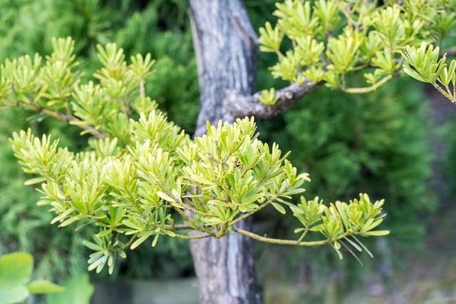 Buddhist Pine Poisoning in Dogs - Symptoms, Causes, Diagnosis, Treatment, Recovery, Management, Cost