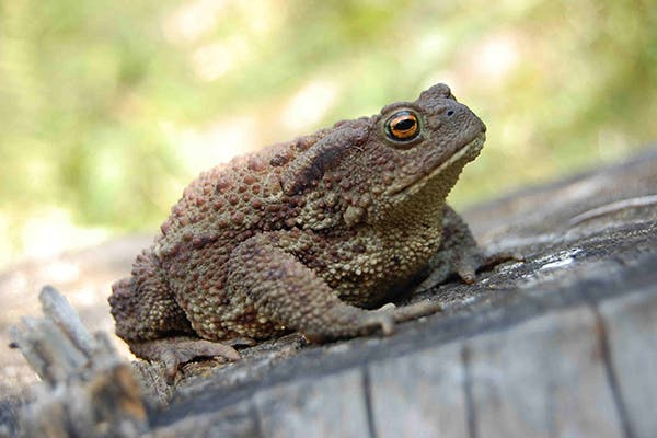Bufo Toad Toxicity in Dogs - Symptoms, Causes, Diagnosis, Treatment, Recovery, Management, Cost