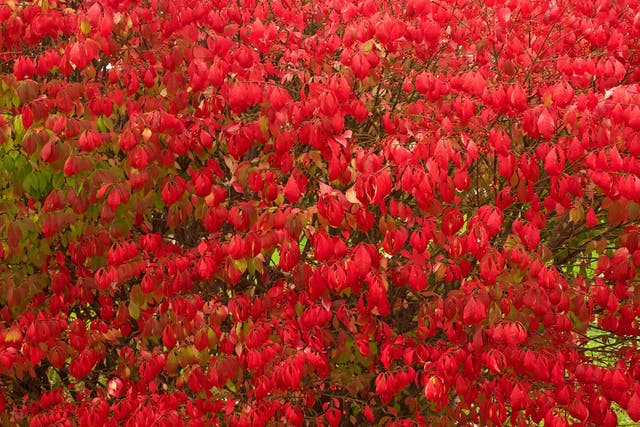 Burning Bush Poisoning in Dogs - Symptoms, Causes, Diagnosis, Treatment, Recovery, Management, Cost