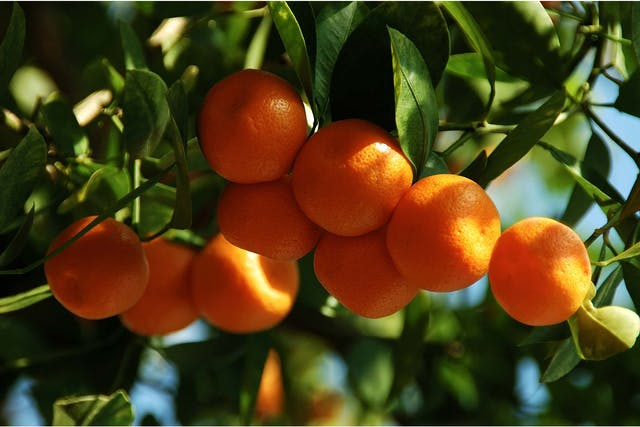 Calamondin Orange Poisoning in Dogs - Symptoms, Causes, Diagnosis, Treatment, Recovery, Management, Cost