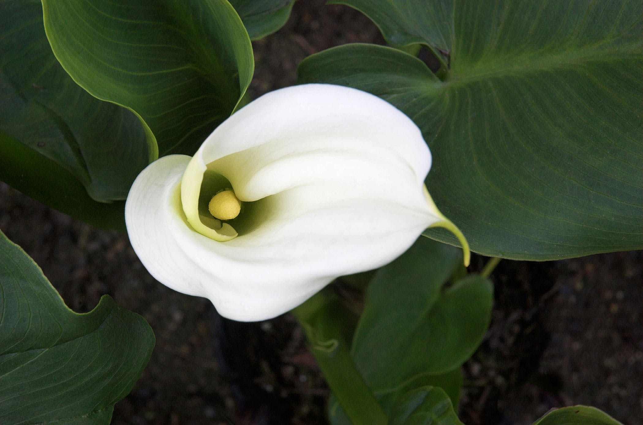 Calla lily poisoning in dogs symptoms causes diagnosis calla lily poisoning in dogs izmirmasajfo