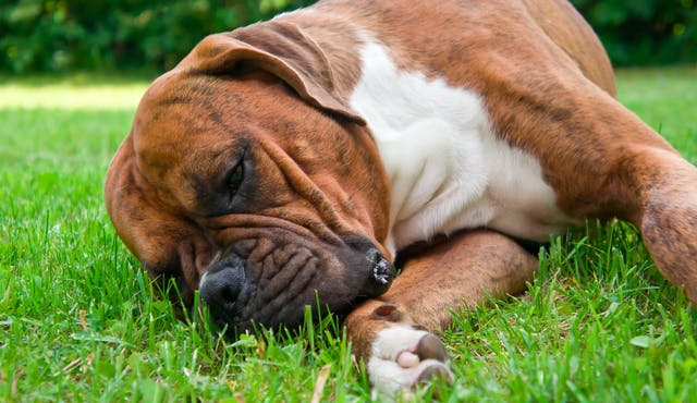 Cancerous Lymphoid Cells in the Lungs in Dogs - Symptoms, Causes, Diagnosis, Treatment, Recovery, Management, Cost