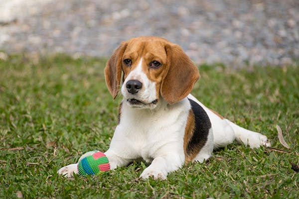 Canine Cholangeohepatitis in Dogs - Symptoms, Causes ...