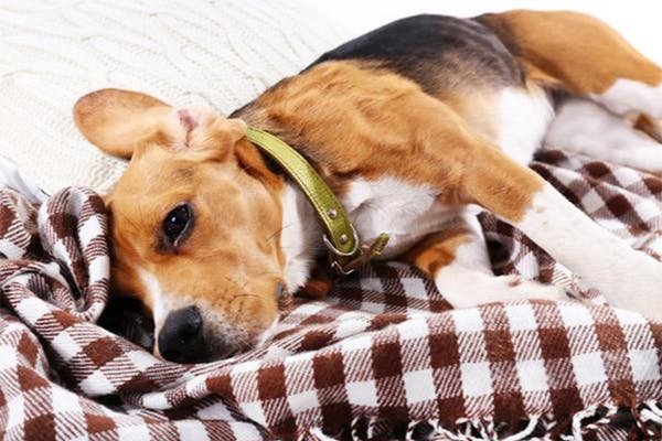 Can I Walk A Dog With Kennel Cough