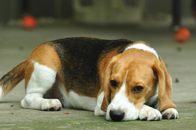 Canine Parvovirus in Dogs - Symptoms, Causes, Diagnosis, Treatment, Recovery, Management, Cost