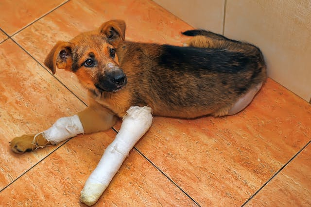 Canine Unicompartmental Elbow in Dogs - Conditions Treated, Procedure, Efficacy, Recovery, Cost, Considerations, Prevention