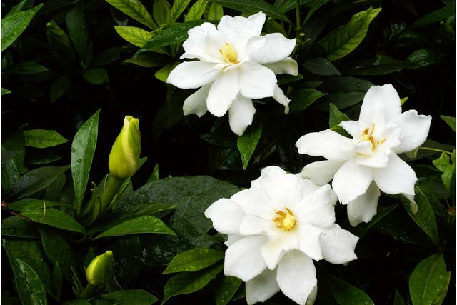Cape Jasmine Poisoning in Dogs - Symptoms, Causes, Diagnosis, Treatment, Recovery, Management, Cost