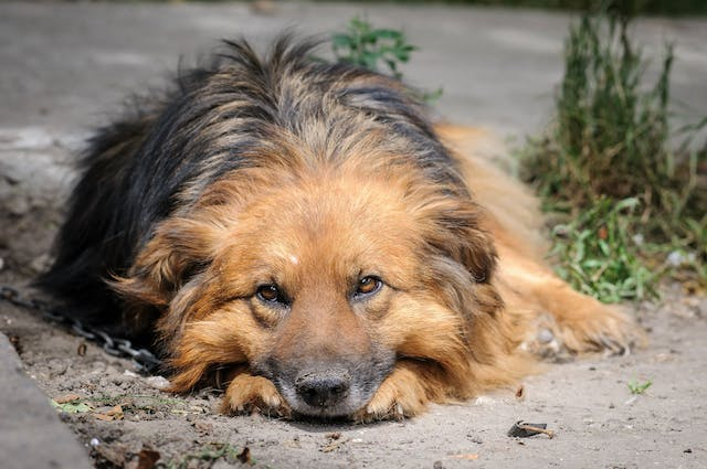 Carcinoid Cancer in Dogs - Symptoms, Causes, Diagnosis, Treatment, Recovery, Management, Cost
