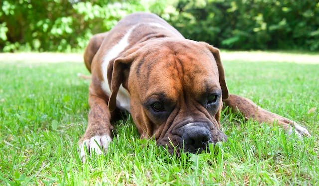 Cardiomyopathy (Boxers) in Dogs - Symptoms, Causes, Diagnosis, Treatment, Recovery, Management, Cost