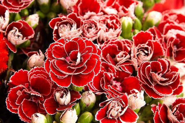 Carnation Poisoning in Dogs - Symptoms, Causes, Diagnosis, Treatment, Recovery, Management, Cost