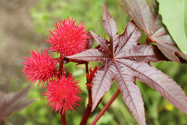 Castor Bean Poisoning in Dogs - Symptoms, Causes, Diagnosis, Treatment, Recovery, Management, Cost