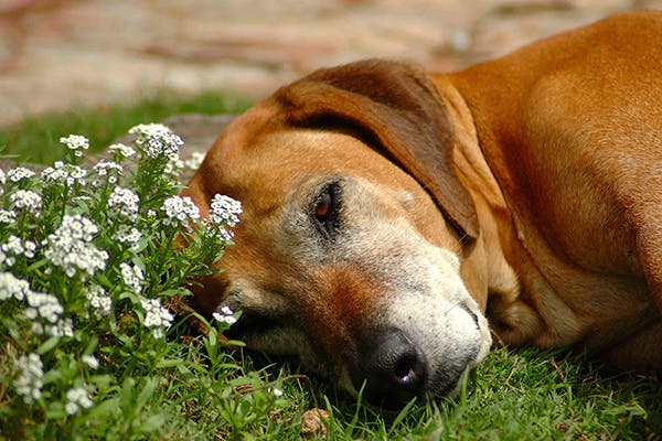 Cerebellar Hypoplasia in Dogs - Symptoms, Causes, Diagnosis, Treatment, Recovery, Management, Cost