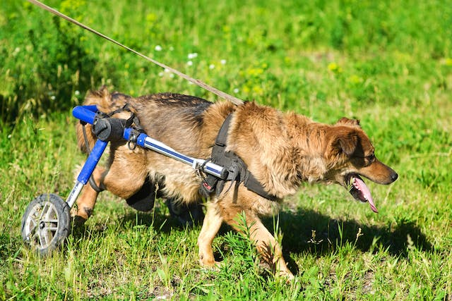 Cervical Dorsal Laminectomy in Dogs - Conditions Treated, Procedure, Efficacy, Recovery, Cost, Considerations, Prevention