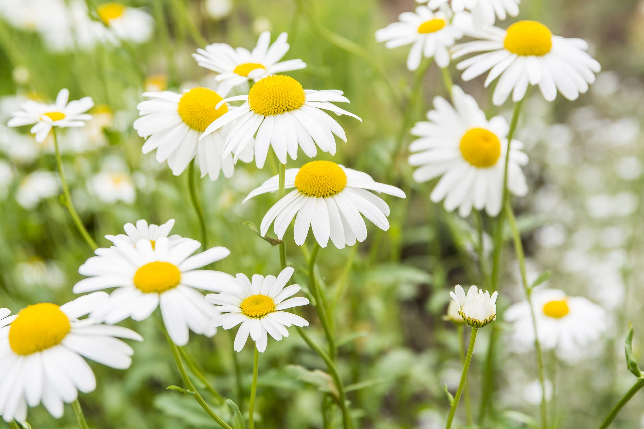 Chamomile Poisoning In Dogs Symptoms Causes Diagnosis