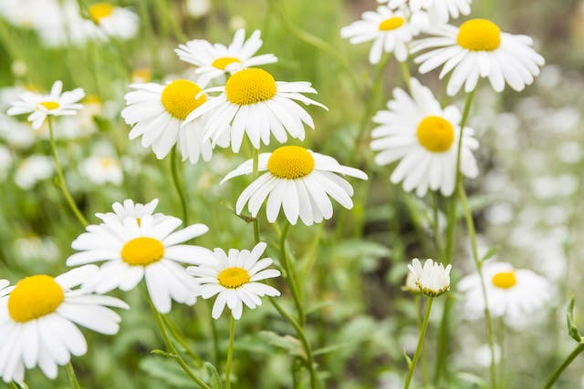 Chamomile Poisoning in Dogs - Symptoms, Causes, Diagnosis, Treatment, Recovery, Management, Cost