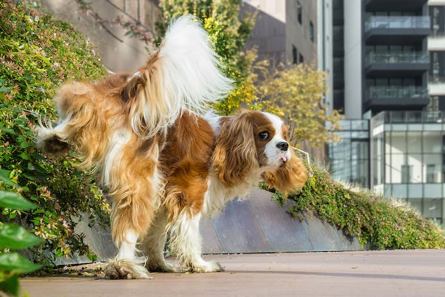 Chemical Imbalance of Urine in Dogs - Symptoms, Causes, Diagnosis, Treatment, Recovery, Management, Cost