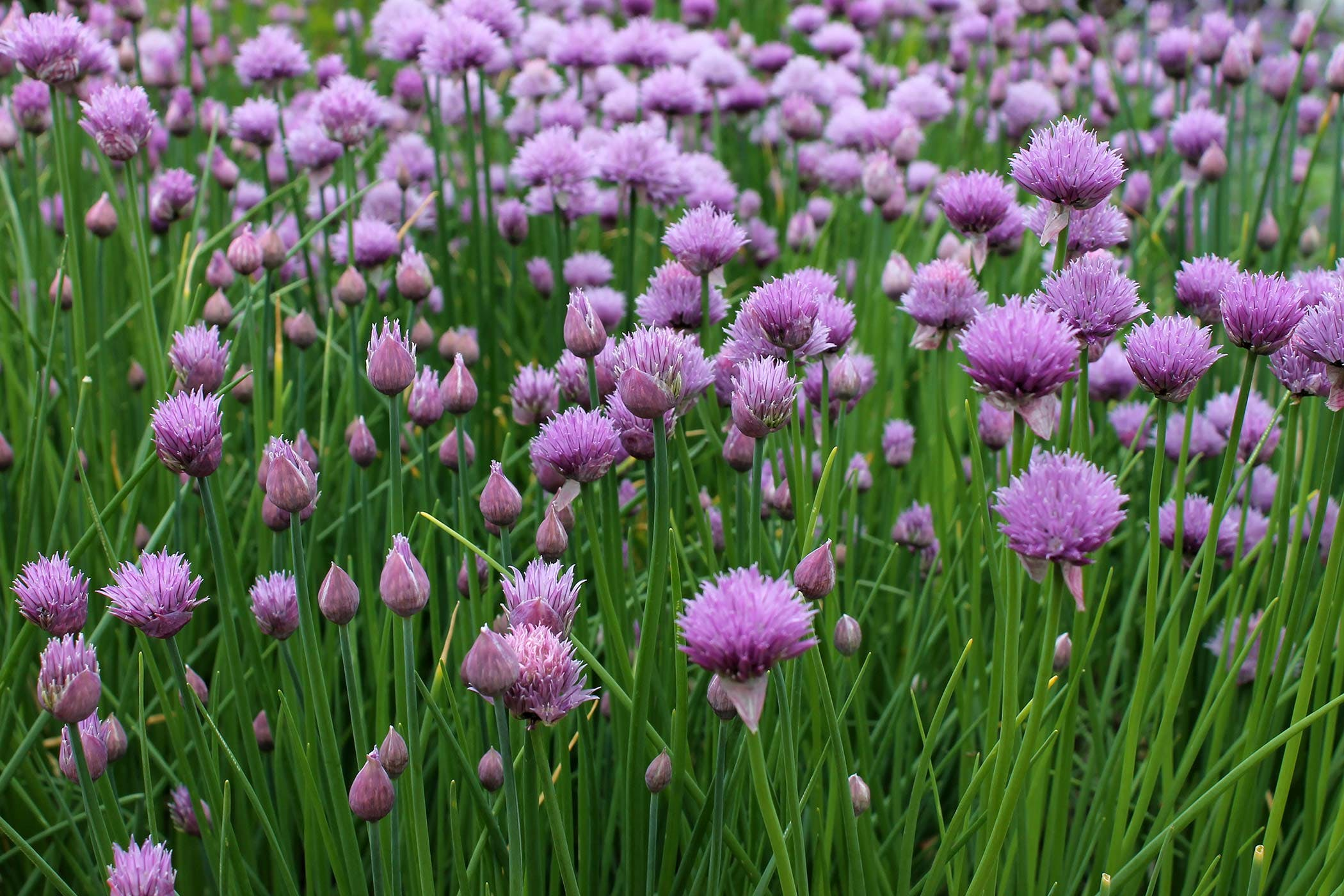 Chives Poisoning in Dogs - Symptoms, Causes, Diagnosis ...