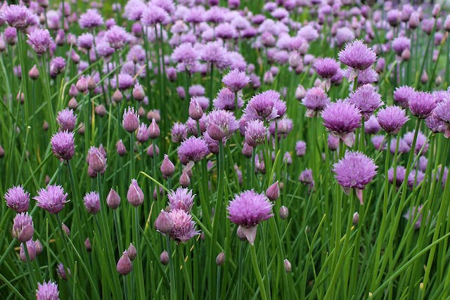 Chives Poisoning - Symptoms, Causes, Diagnosis, Treatment, Recovery, Management, Cost