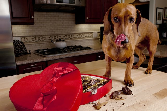 Chocolate Poisoning in Dogs - Symptoms, Causes, Diagnosis, Treatment, Recovery, Management, Cost