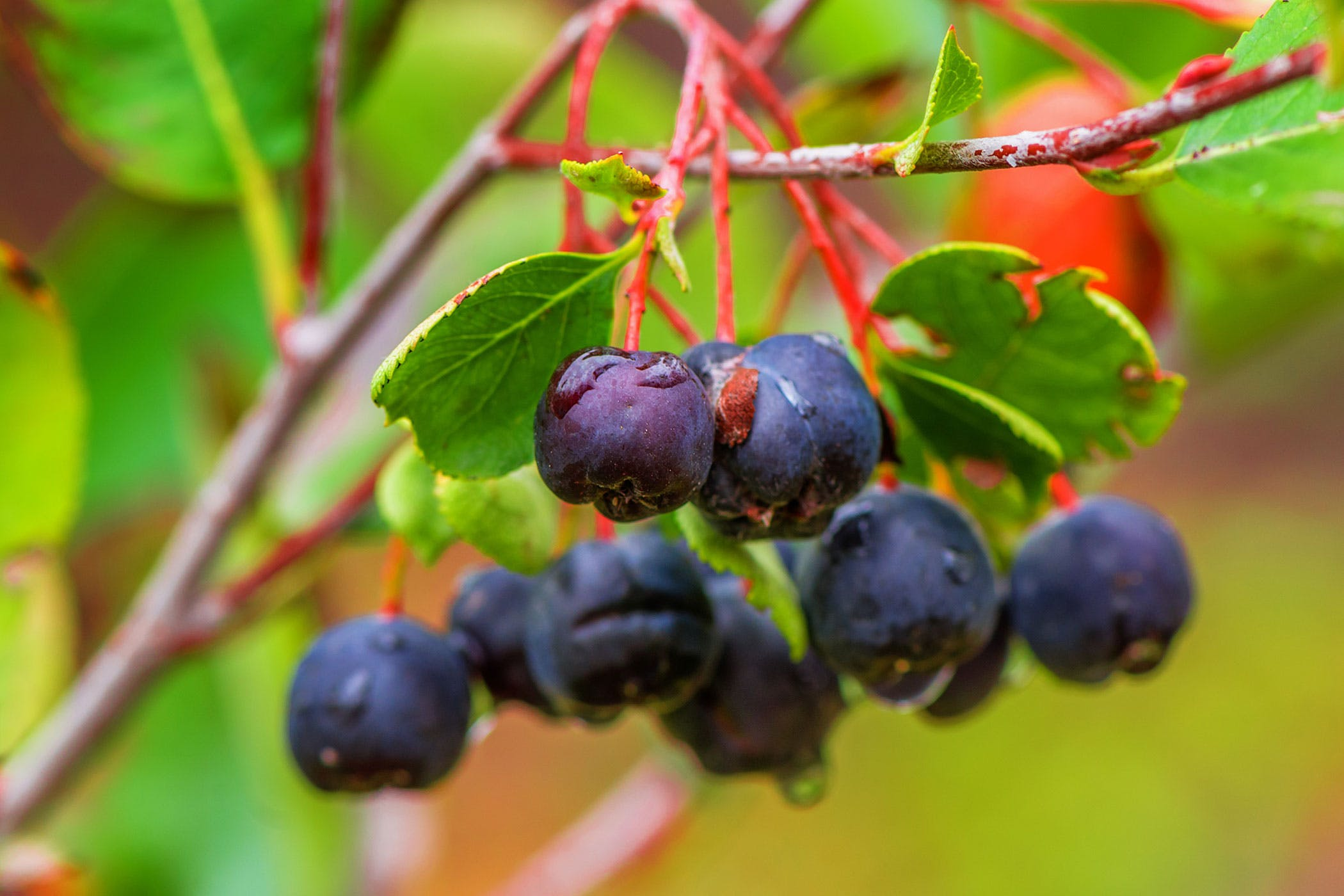 Black Cherry Tree Poisonous To Dogs