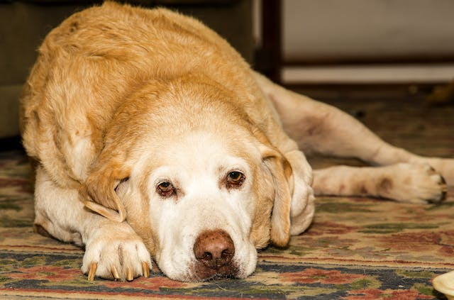 Chronic Leukemia in Dogs - Symptoms, Causes, Diagnosis, Treatment, Recovery, Management, Cost