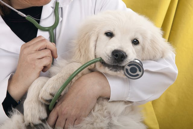 Chronic Ulcer Surgery in Dogs - Conditions Treated, Procedure, Efficacy, Recovery, Cost, Considerations, Prevention