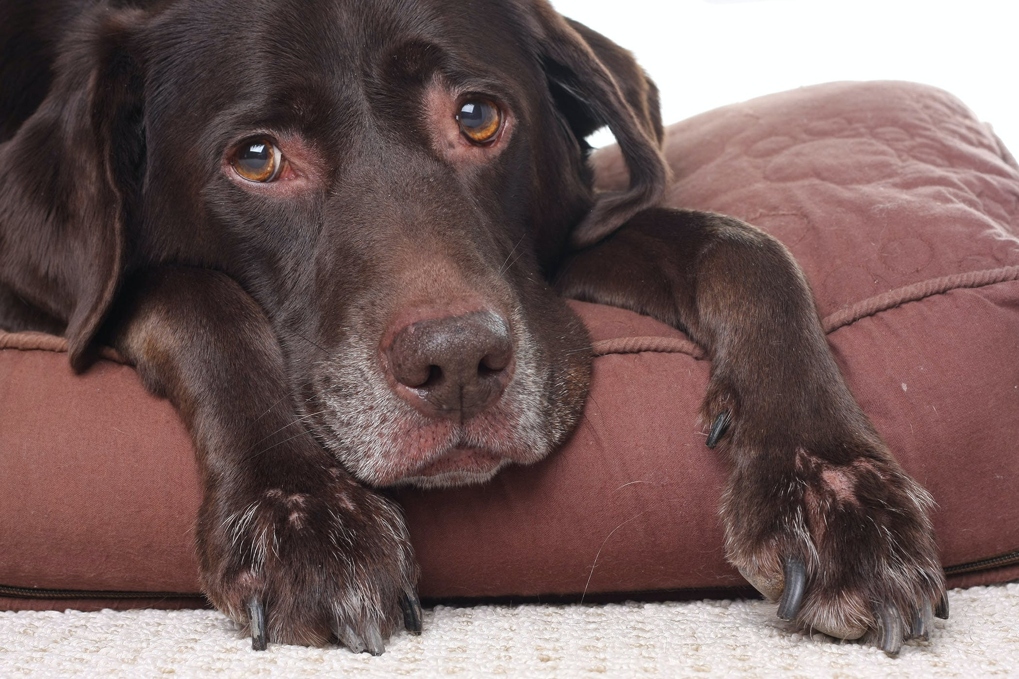 Chronic Vomiting in Dogs - Symptoms, Causes, Diagnosis