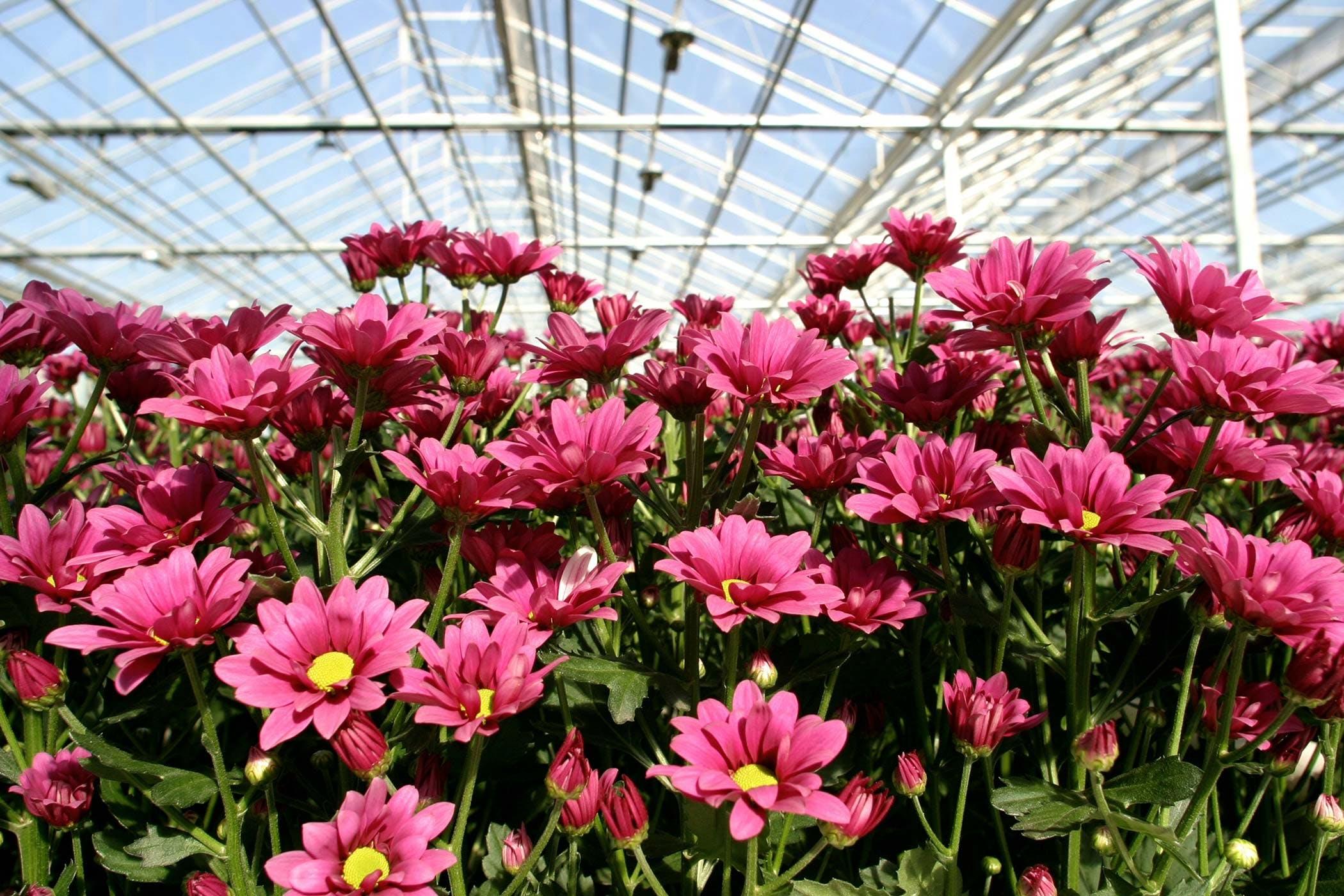 Chrysanthemum Poisoning in Dogs