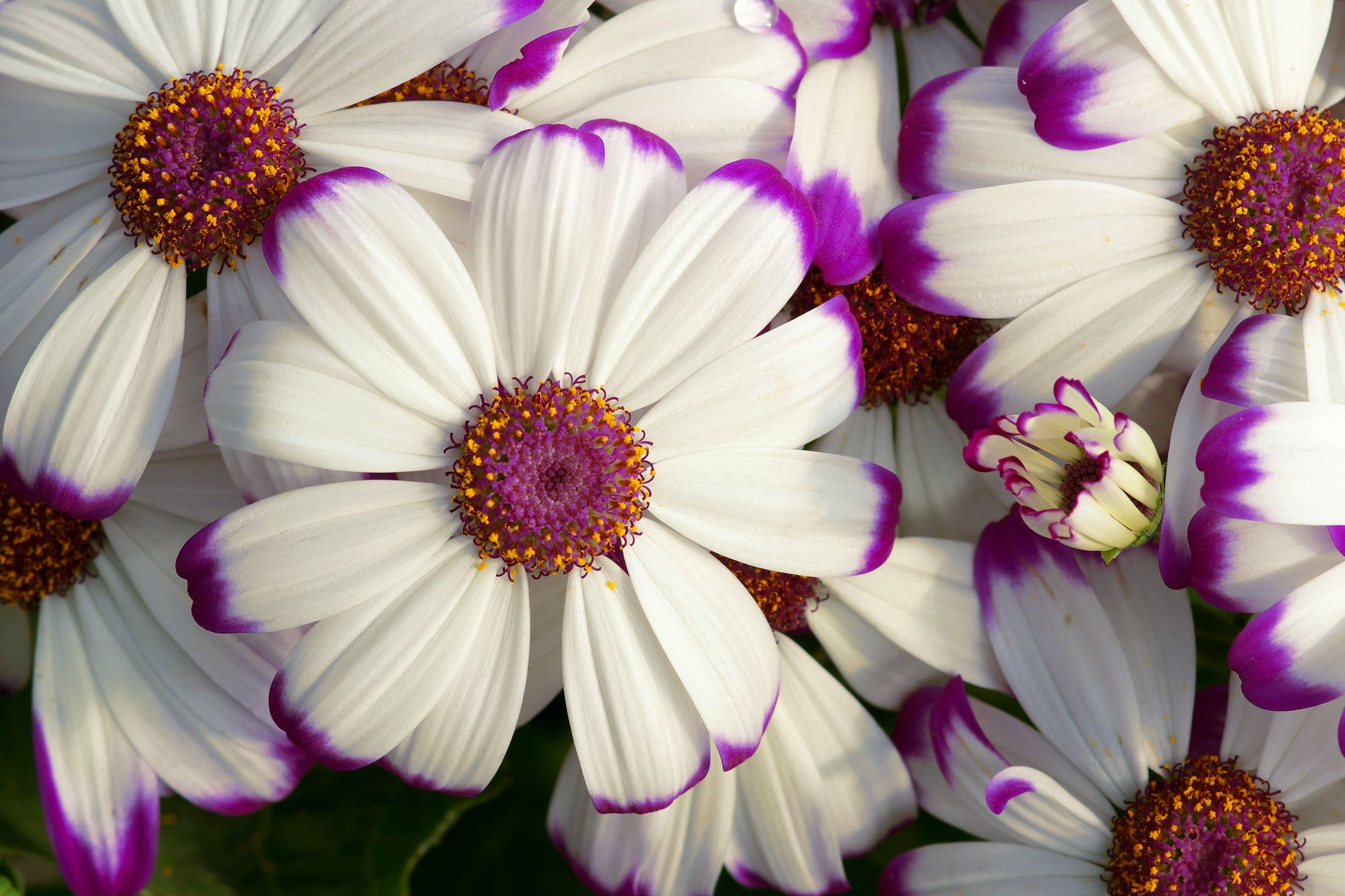 Cineraria Poisoning In Dogs Symptoms Causes Diagnosis