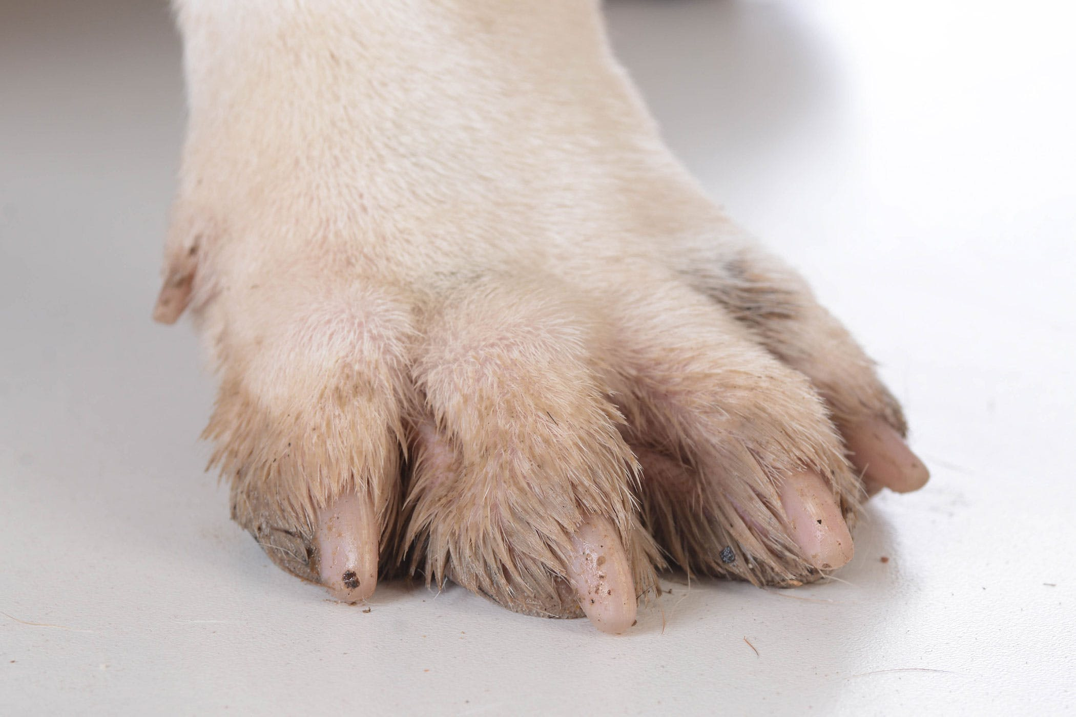 and Nail Disorders in Dogs - Symptoms, Causes, Diagnosis, Treatment ...