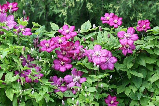 Clematis Poisoning in Dogs - Symptoms, Causes, Diagnosis, Treatment, Recovery, Management, Cost