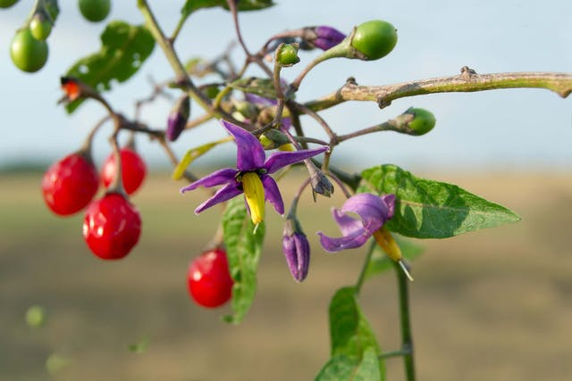 Climbing Nightshade Poisoning in Dogs - Symptoms, Causes, Diagnosis, Treatment, Recovery, Management, Cost