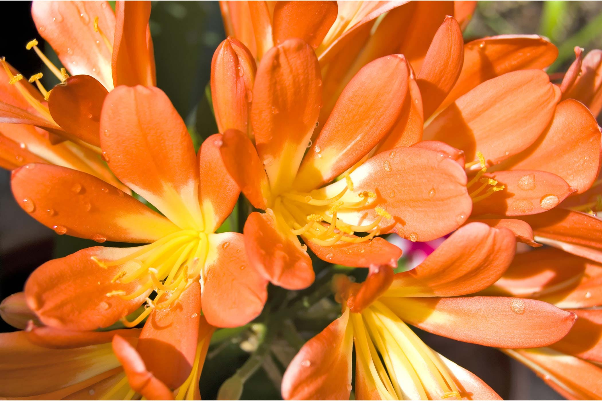 Clivia lily poisoning in dogs symptoms causes diagnosis clivia lily poisoning in dogs izmirmasajfo