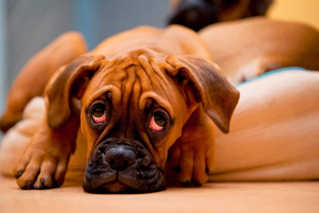 Clostridial Diarrhea in Dogs - Symptoms, Causes, Diagnosis, Treatment, Recovery, Management, Cost