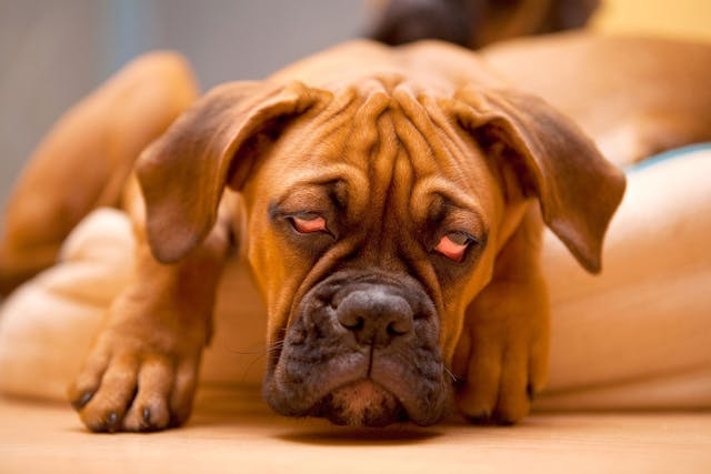 Cobalt Poisoning in Dogs - Symptoms, Causes, Diagnosis, Treatment, Recovery, Management, Cost
