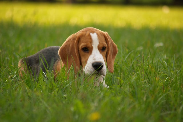 Coccidiosis in Dogs - Symptoms, Causes, Diagnosis, Treatment, Recovery, Management, Cost