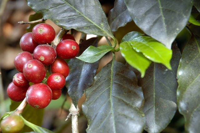Coffee Tree Poisoning in Dogs - Symptoms, Causes, Diagnosis, Treatment, Recovery, Management, Cost