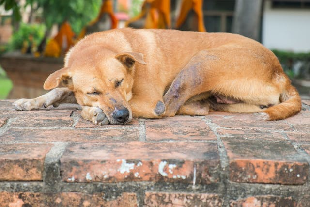 Cold Agglutinin in Dogs - Symptoms, Causes, Diagnosis, Treatment, Recovery, Management, Cost