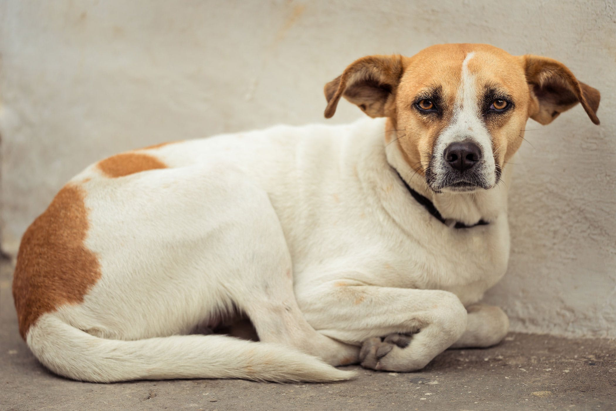 Colonic or Rectal Inflammation in Dogs - Symptoms, Causes