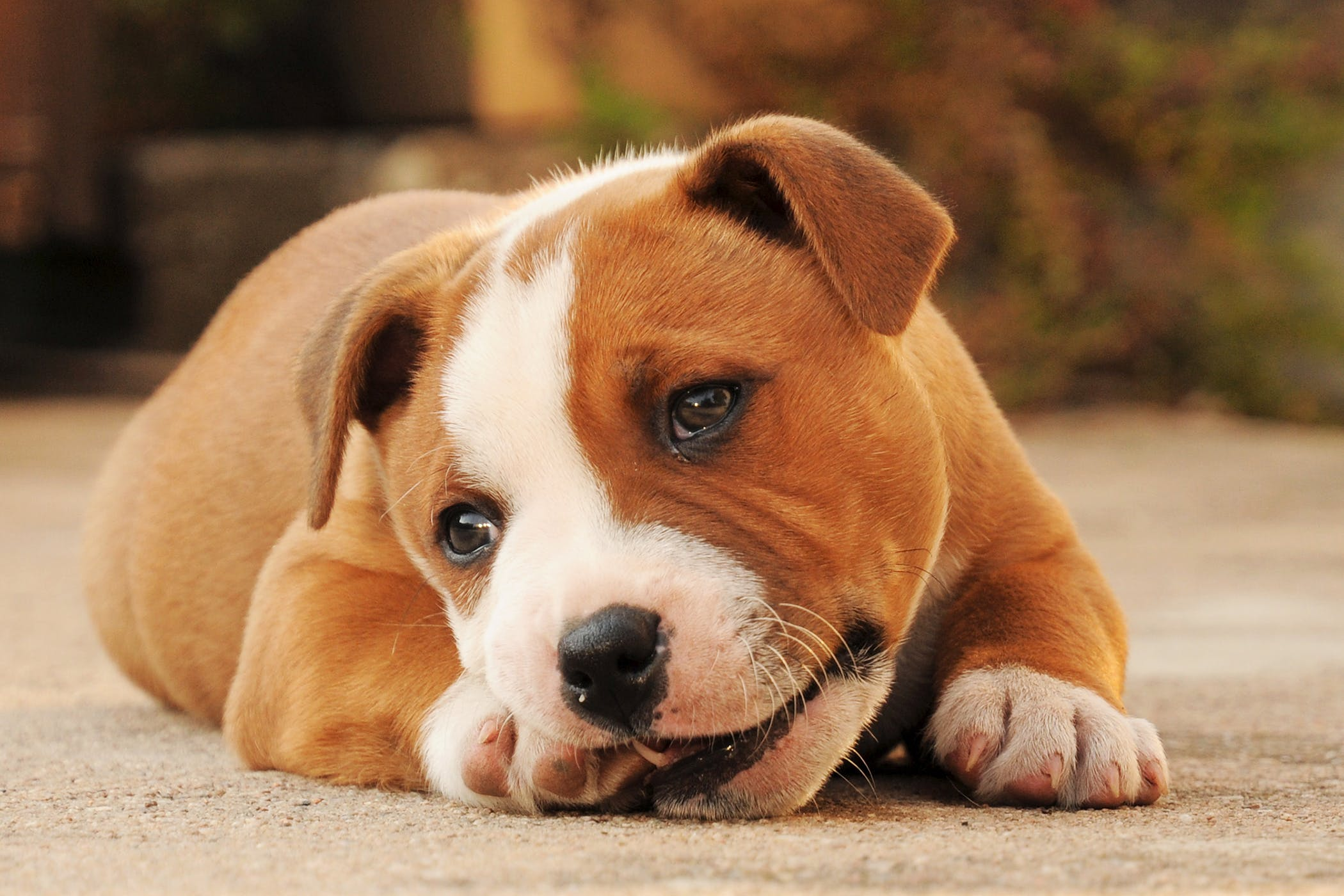 Colostomy  in Dogs