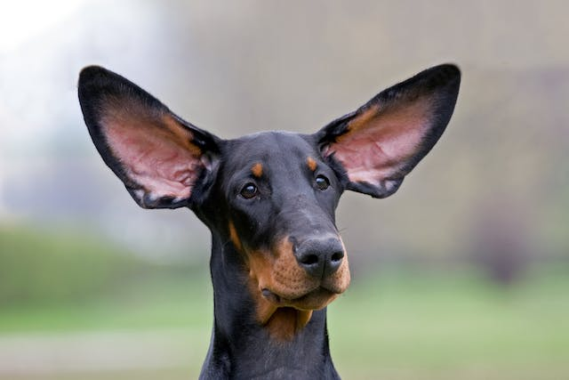 Congenital Deafness in Dogs - Symptoms, Causes, Diagnosis, Treatment, Recovery, Management, Cost
