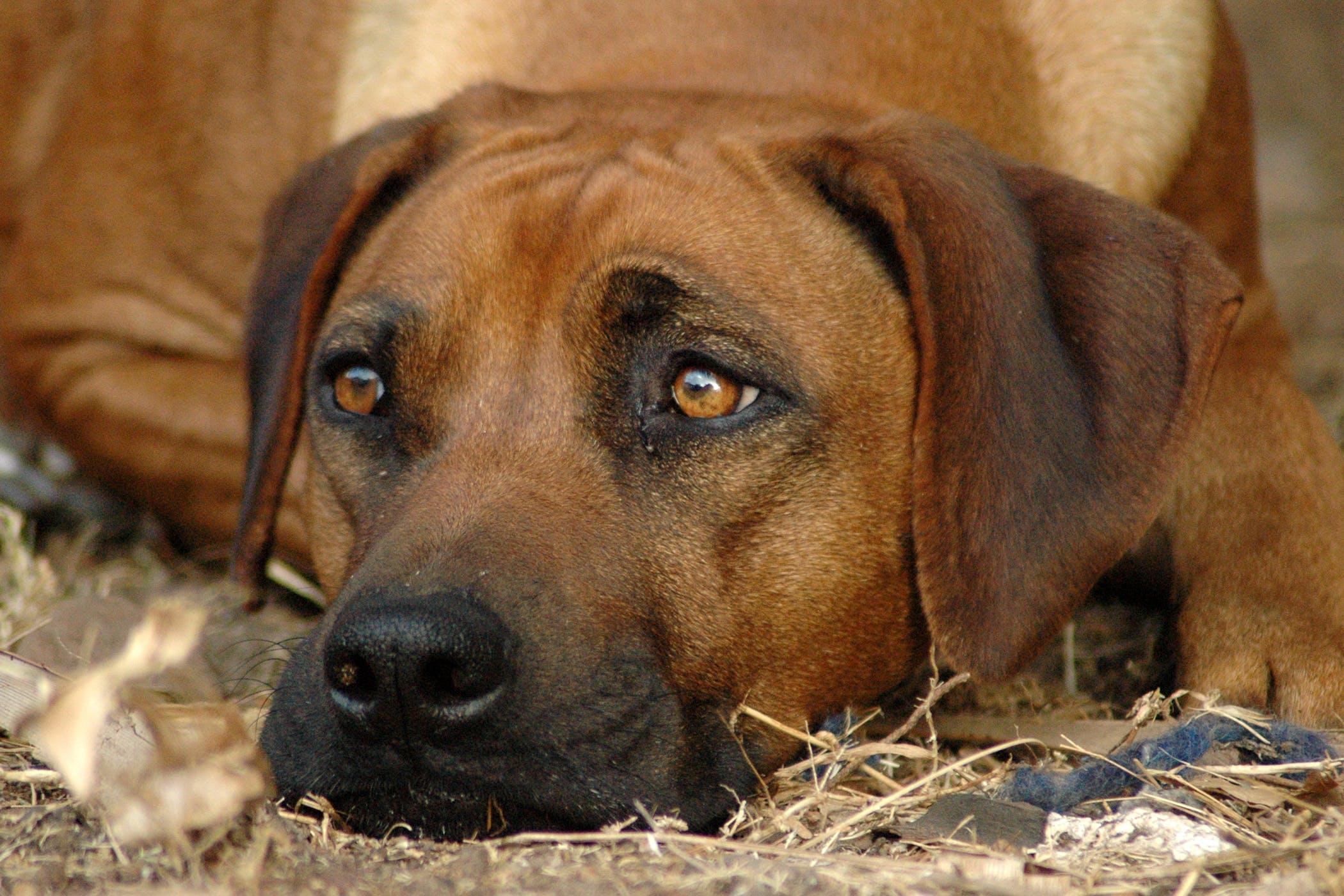 Symptoms Pink Eye Dogs